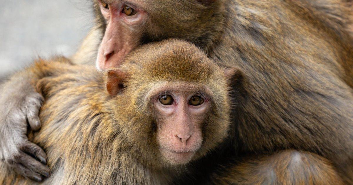 Monos de la India, mascotas en el Egipto romano