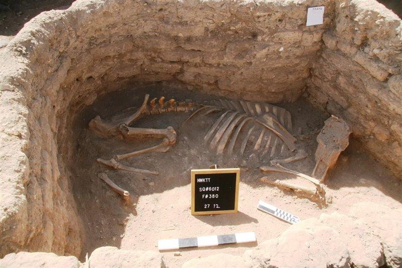 Esqueleto de un bóvido.